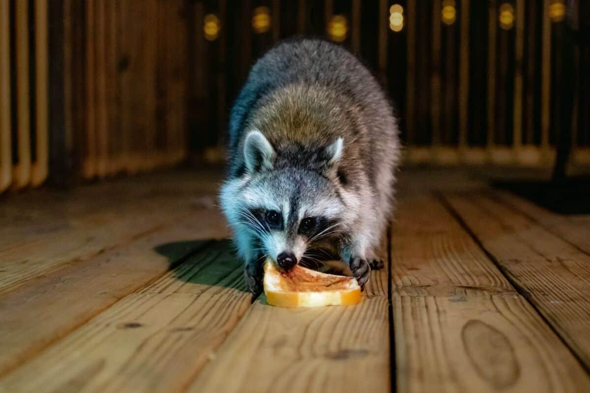 raccoon on a balcony